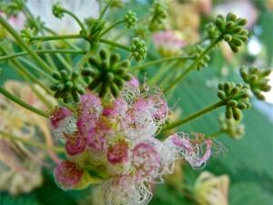 pink blooming Acacia